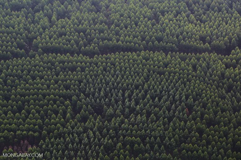 Acacia plantation [riau_5020]
