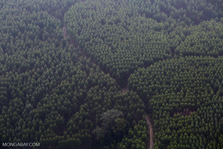 Acacia plantation [riau_5023]