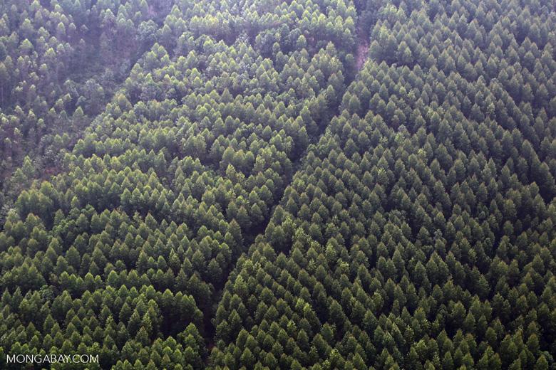 Acacia plantation [riau_5026]