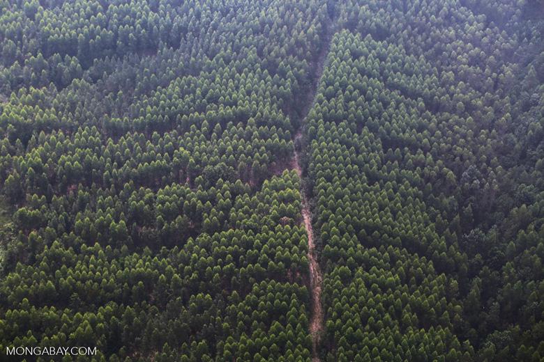 Acacia plantation [riau_5033]