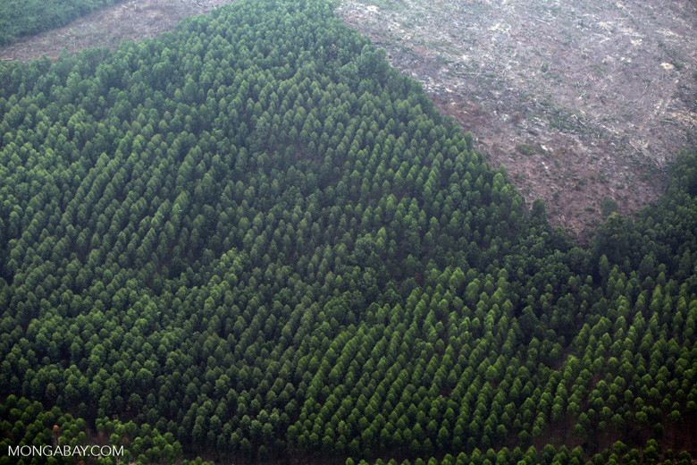 Acacia plantation [riau_5060]