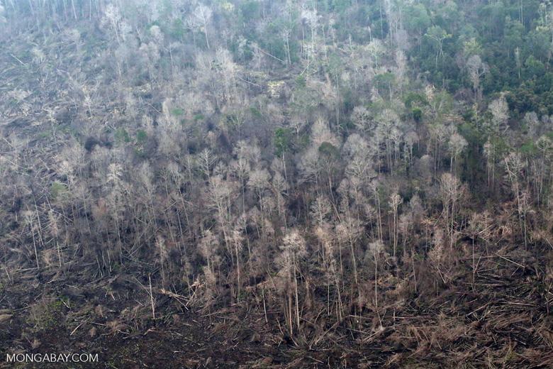 Rainforest burned for oil palm in Sumatra [riau_5313]