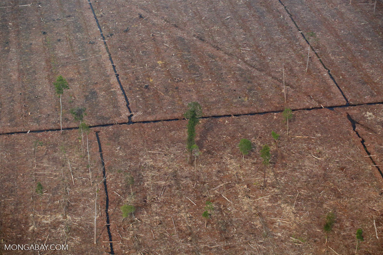 Peat forest cleared for acacia