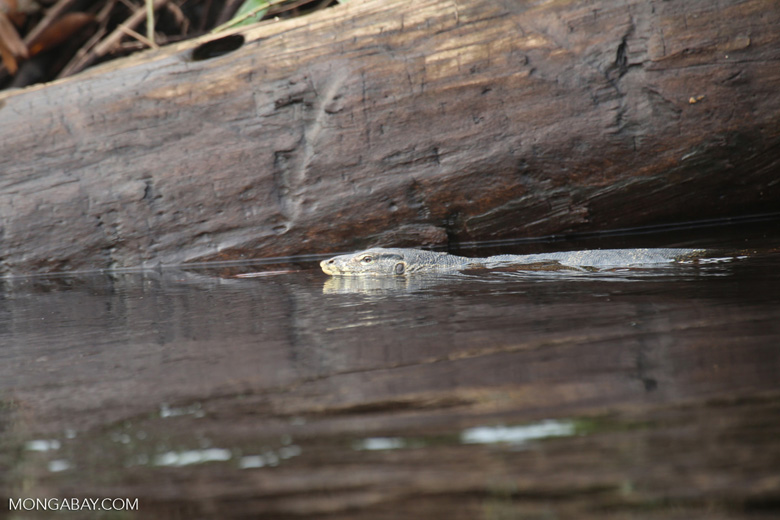 Water monitor in a peat swamp [riau_5492]