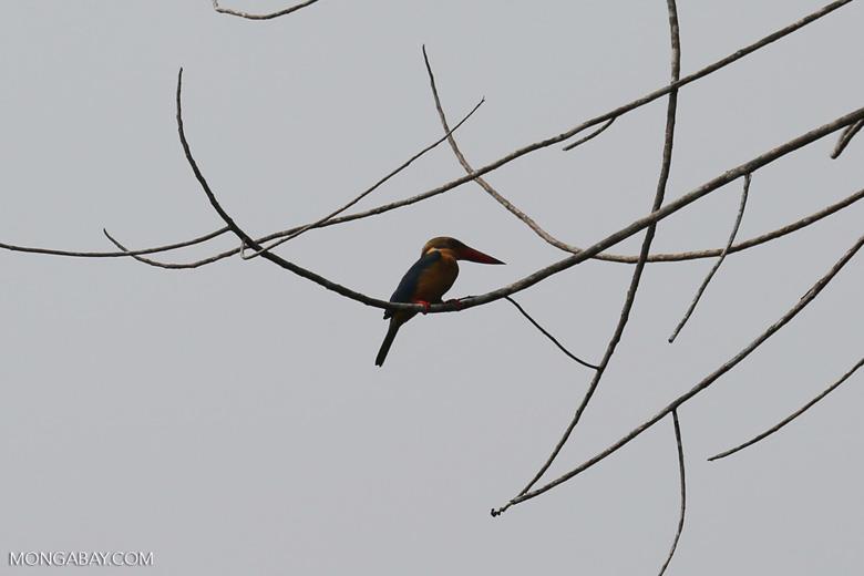 Kingfisher [riau_5496]