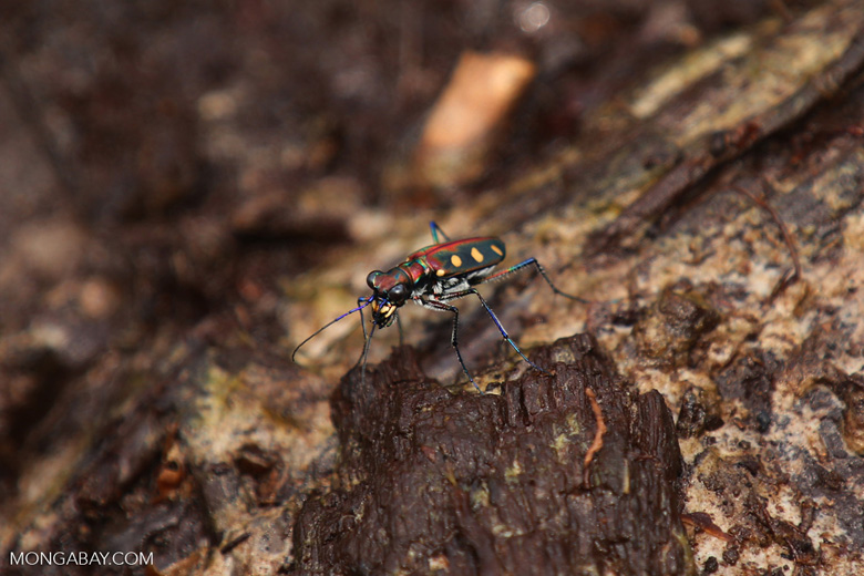 Tiger beetle [riau_5514]