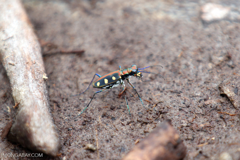 Tiger beetle [riau_5522]