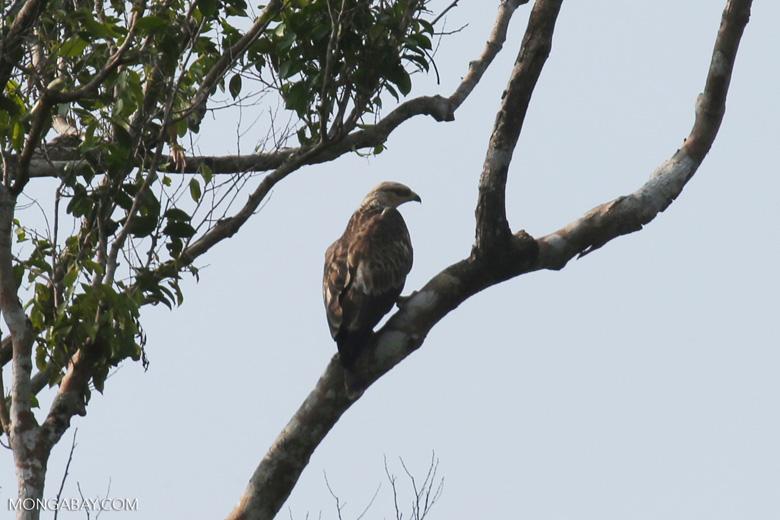 Raptor in Riau [riau_5548]