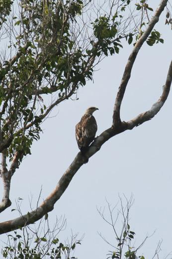 Raptor in Riau [riau_5549]