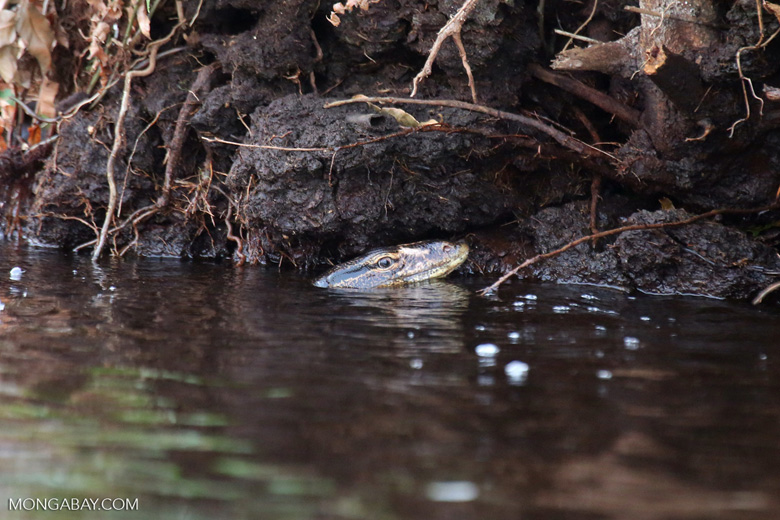 Water monitor in a peat swamp [riau_5563]