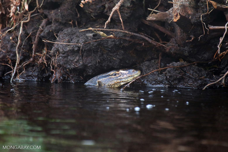 Water monitor in a peat swamp [riau_5564]