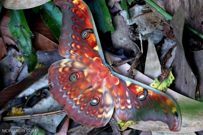 Colorful moth in Sumatra [riau_5756]