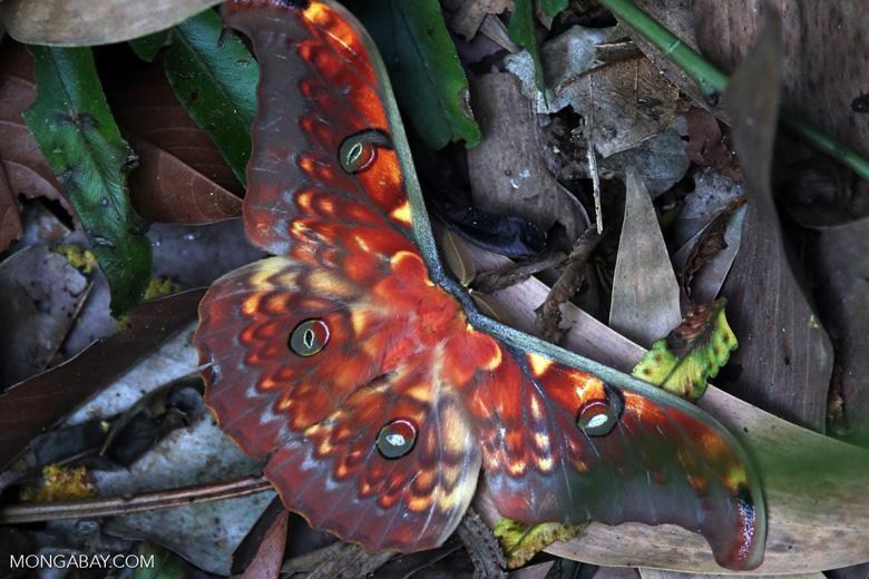 Colorful moth in Sumatra