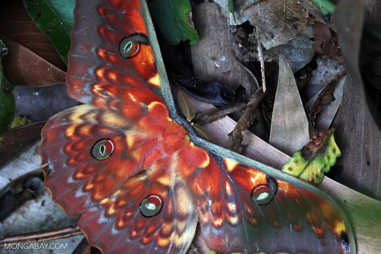 Colorful moth in Sumatra [riau_5758]