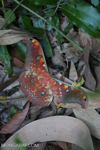 Colorful moth in Sumatra [riau_5759]