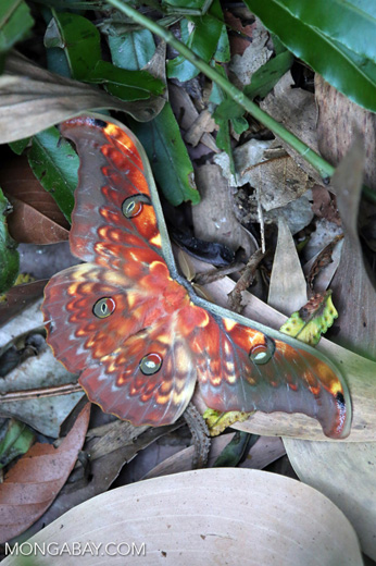 Colorful moth in Sumatra [riau_5761]
