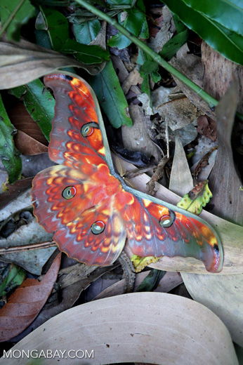 Colorful moth in Sumatra [riau_5765]