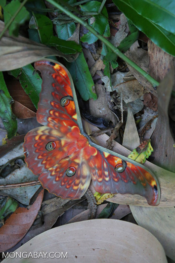 Colorful moth in Sumatra [riau_5766]