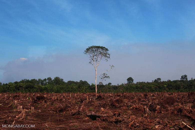 Forest cleared for palm oil production