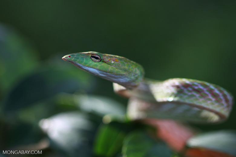 Vine Snake (Ahaetulla prasina)
