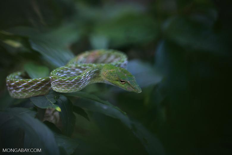 Oriental Whipsnake (Ahaetulla prasina)