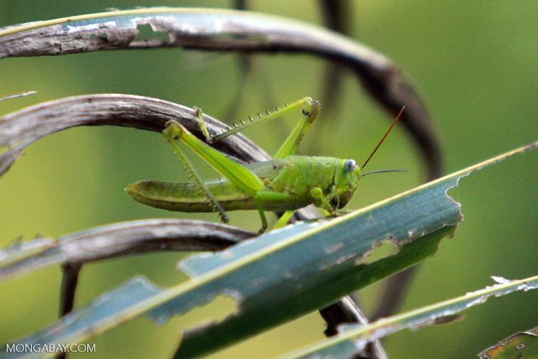 Blue-eyed green grasshopper