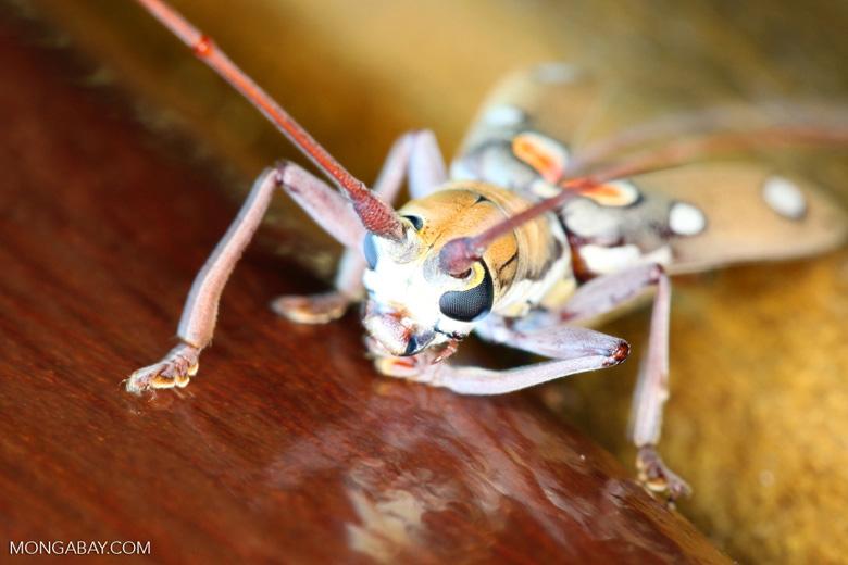 Polka-dot beetle