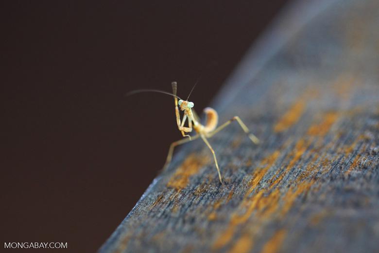 Orange praying mantis with green eyes