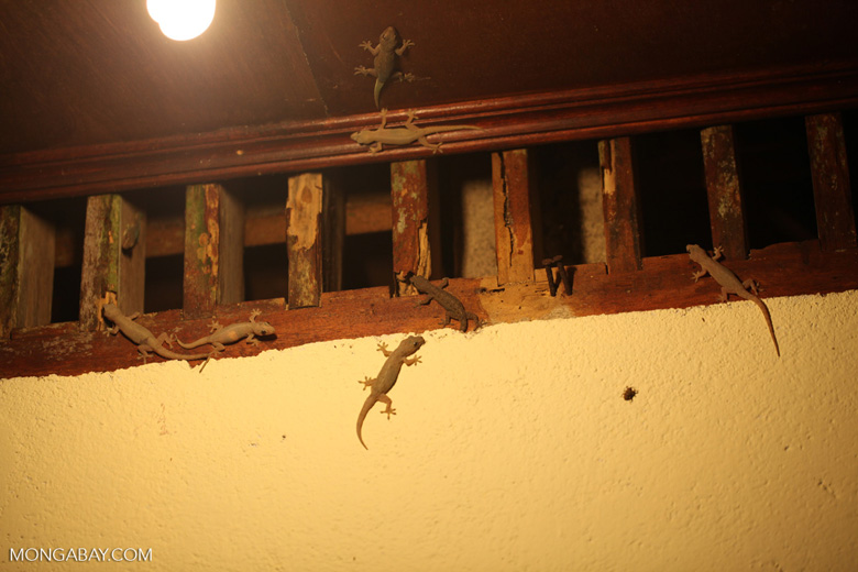 Collection of geckos