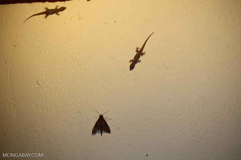 Gecko hunting a moth
