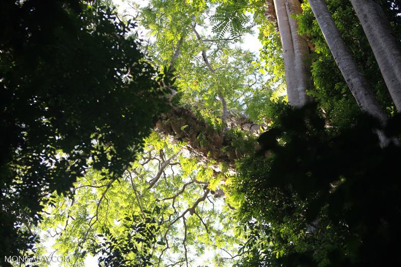 Bird's nest ferns in the rainforest canopy
