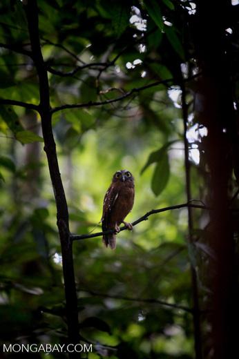 Sulawesi Scops-Owl (Otus manadensis)