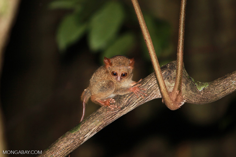 Sulawesi Tarsier (Tarsius tarsier)
