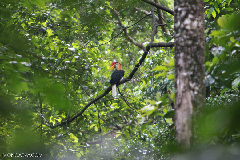 Sulawesi Wrinkled Hornbill (Aceros cassidix)