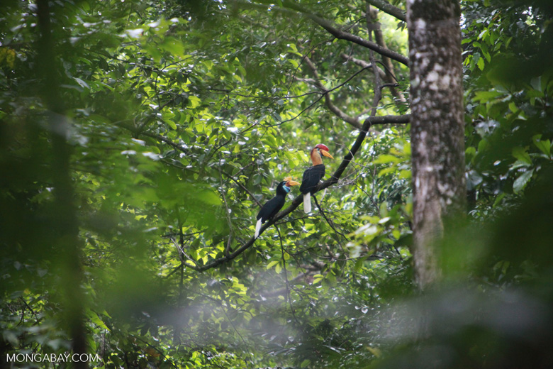 Male and Female Knobbed Hornbill (Aceros cassidix)