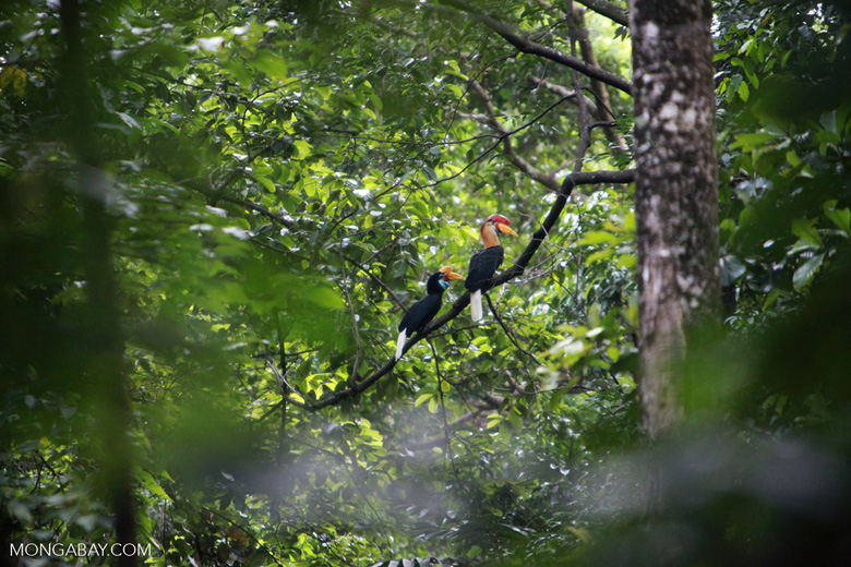 Male and Female Sulawesi Wrinkled Hornbill (Aceros cassidix)