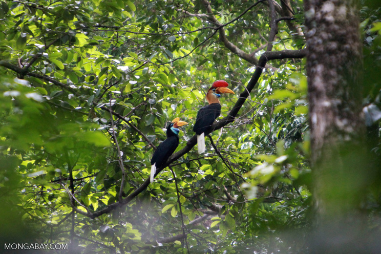 Male and Female Sulawesi Wrinkled Hornbill (Aceros cassidix)