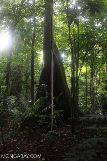 Rainforest tree in Sulawesi