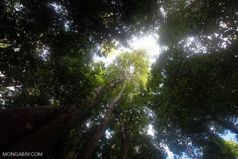 Sulawesi rainforest canopy