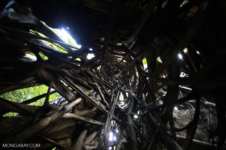 Looking up the inside of a strangler fig tree