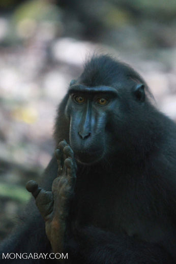 Crested black macaque displaying his foot