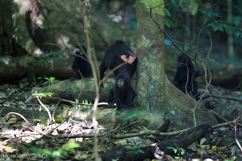 Infant Crested Back Macaques Playing