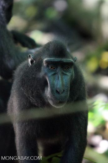 Sulawesi black *ape*