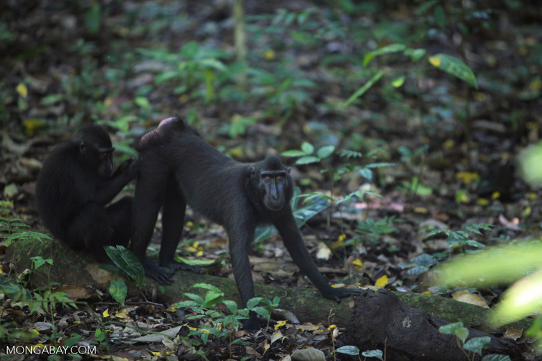 Crested black macaque foraging