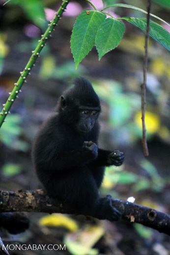 Infant Crested Back Macaque
