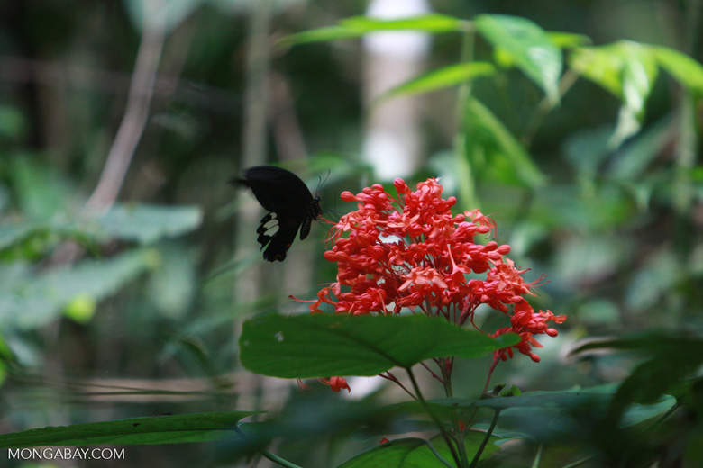 Giant black butterfly [possibly the Great Mormon (Papilio memnon)] feeding on a red flower