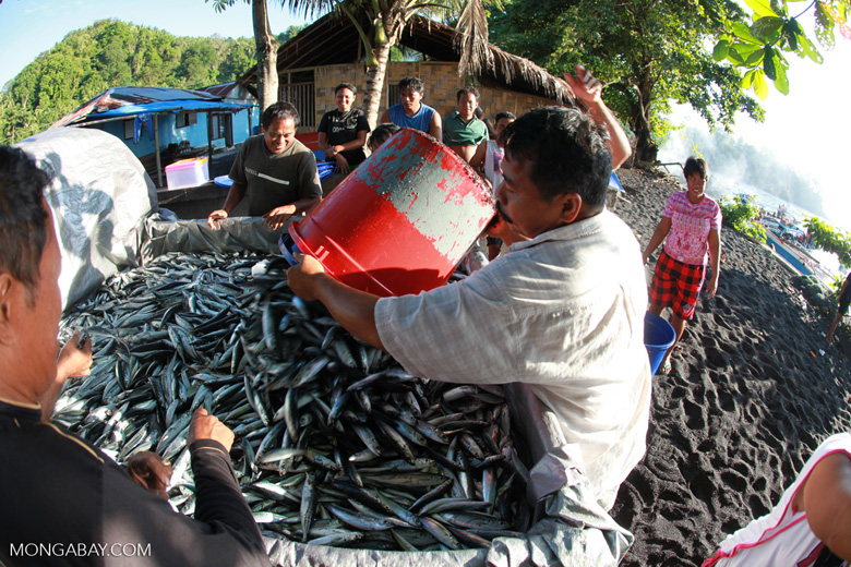 Men loading sardines for export into the back of a pickup truck