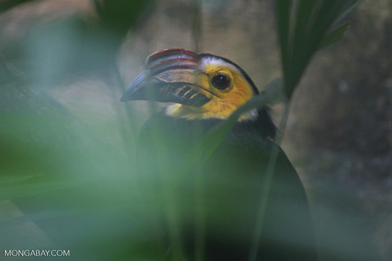 Sulawesi Tarictic Hornbill (Penelopides exarhatus)