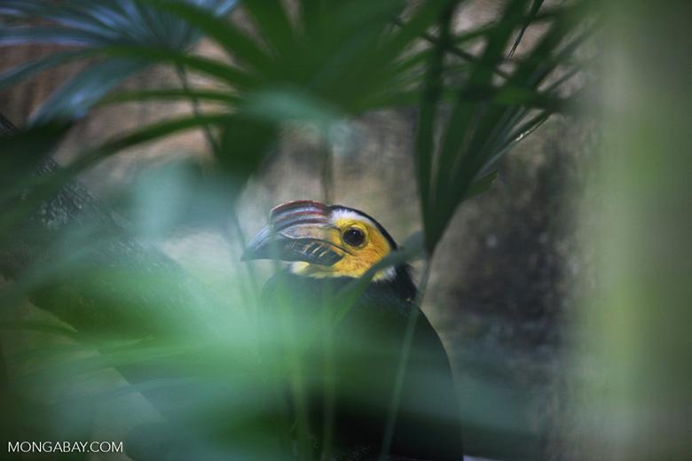 Sulawesi Hornbill (Penelopides exarhatus)