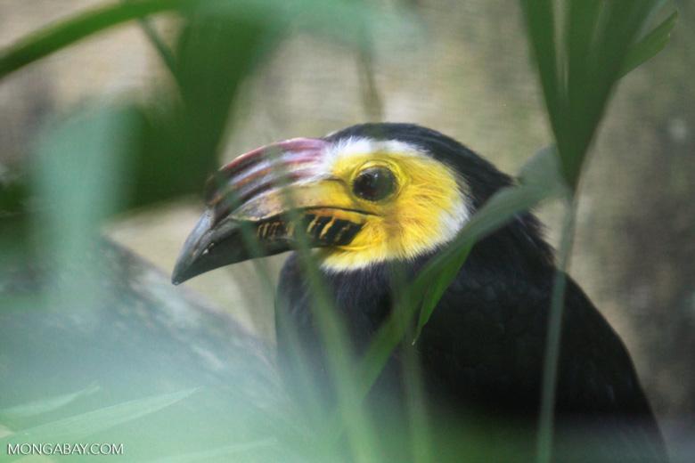 Sulawesi Dwarf Hornbill (Penelopides exarhatus)